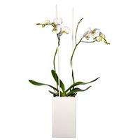 Stor phalaenopsis