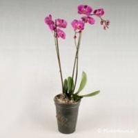 Vackert arrangemang med rosa Phalanopsis-orkidé