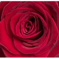 Röda rosor, styckvis