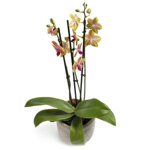 Fantastiskt vacker orkidé