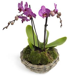 Vackra phalaenopsis-orkidéer