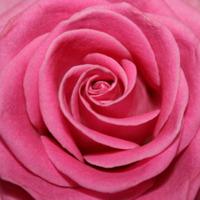 Mellanstora rosa rosor i fritt antal