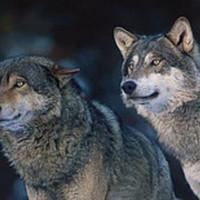 Dansa med vargar